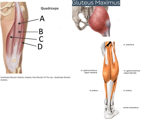 Quadriceps and hamstrings
